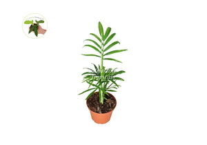 Victorian Parlor Palm (Neanthe Bella Palm) - 2'' from California Tropicals
