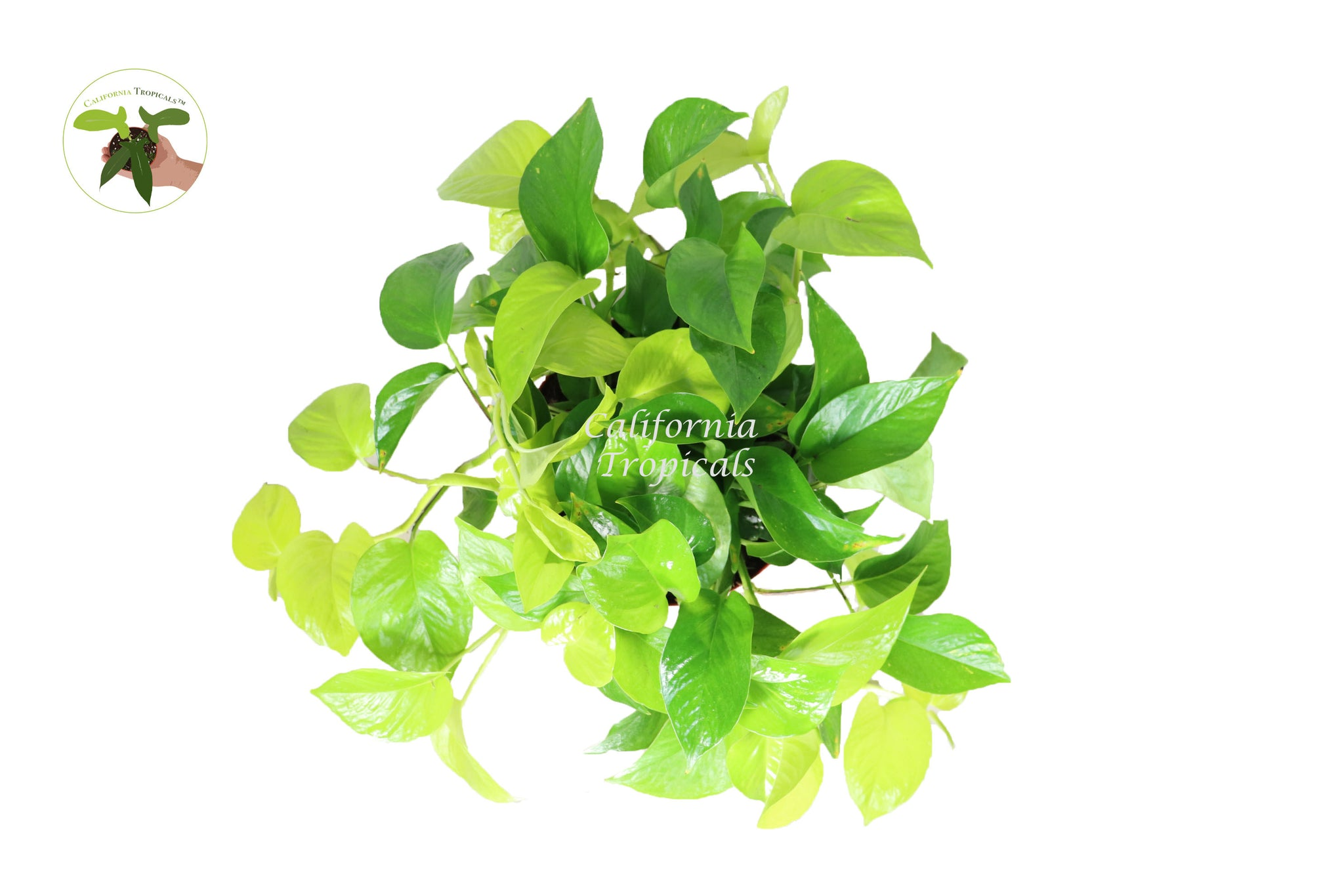 "Pothos Neon - 8"" from California Tropicals"