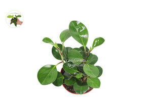 Peperomia Obtusifolia - 6'' from California Tropicals