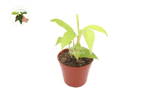 "Philodendron Lemon Lime 4"" - from California Tropicals"