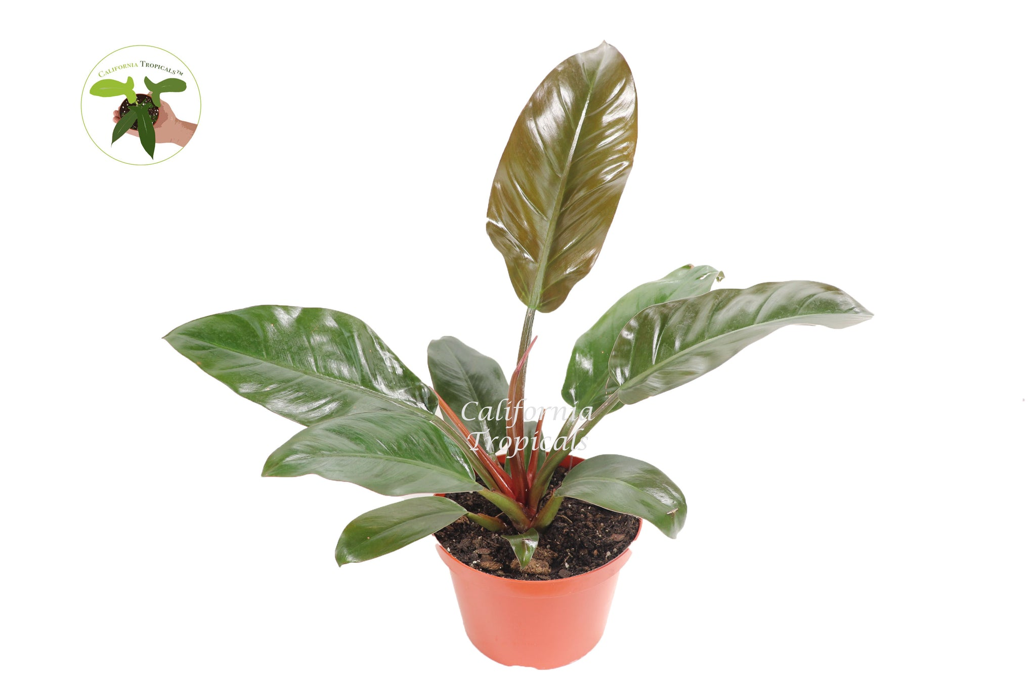 "Philodendron Imperial Red - 8"" from California Tropicals"