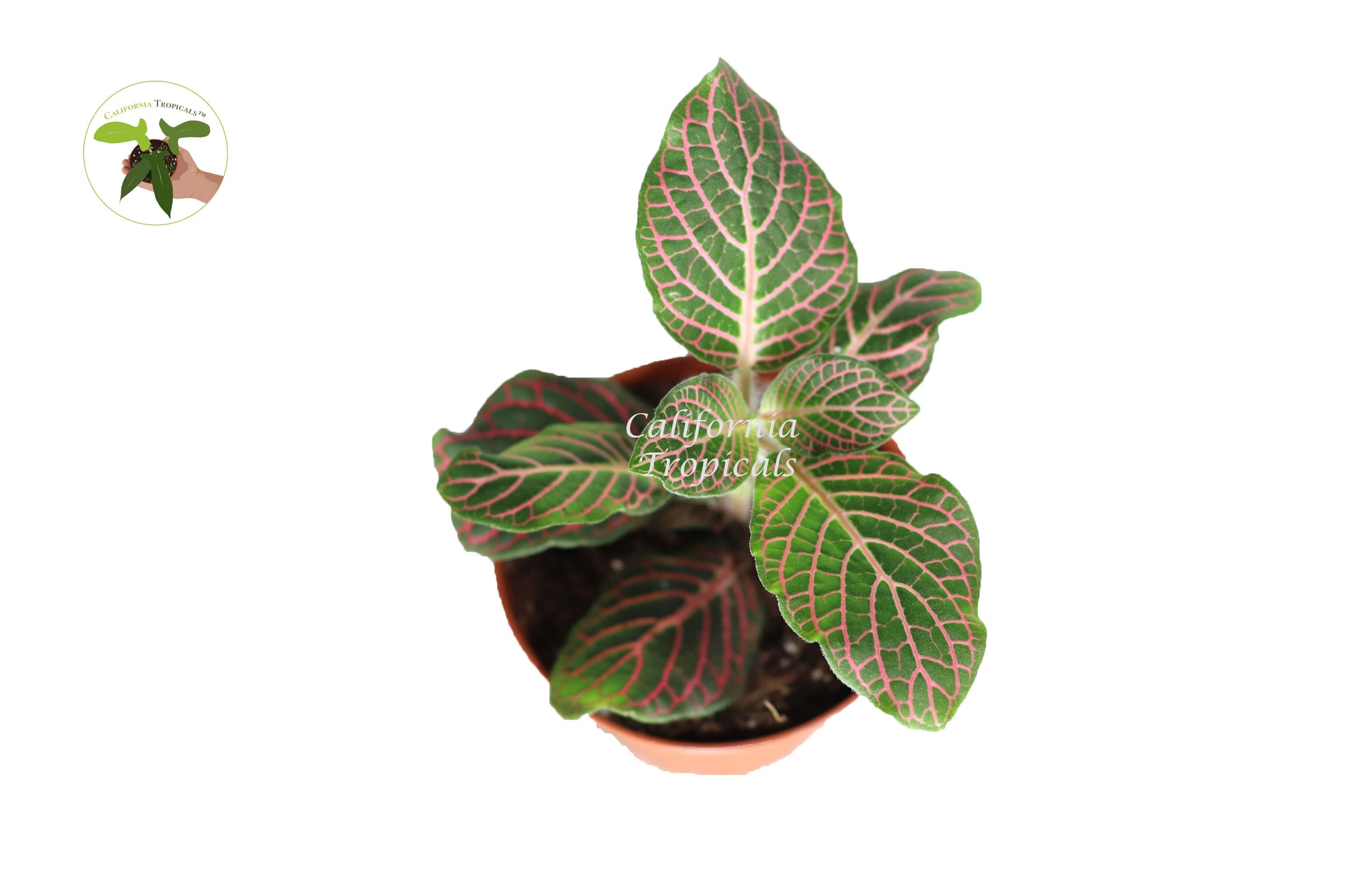 "Pink Fittonia - 3"" from California Tropicals"