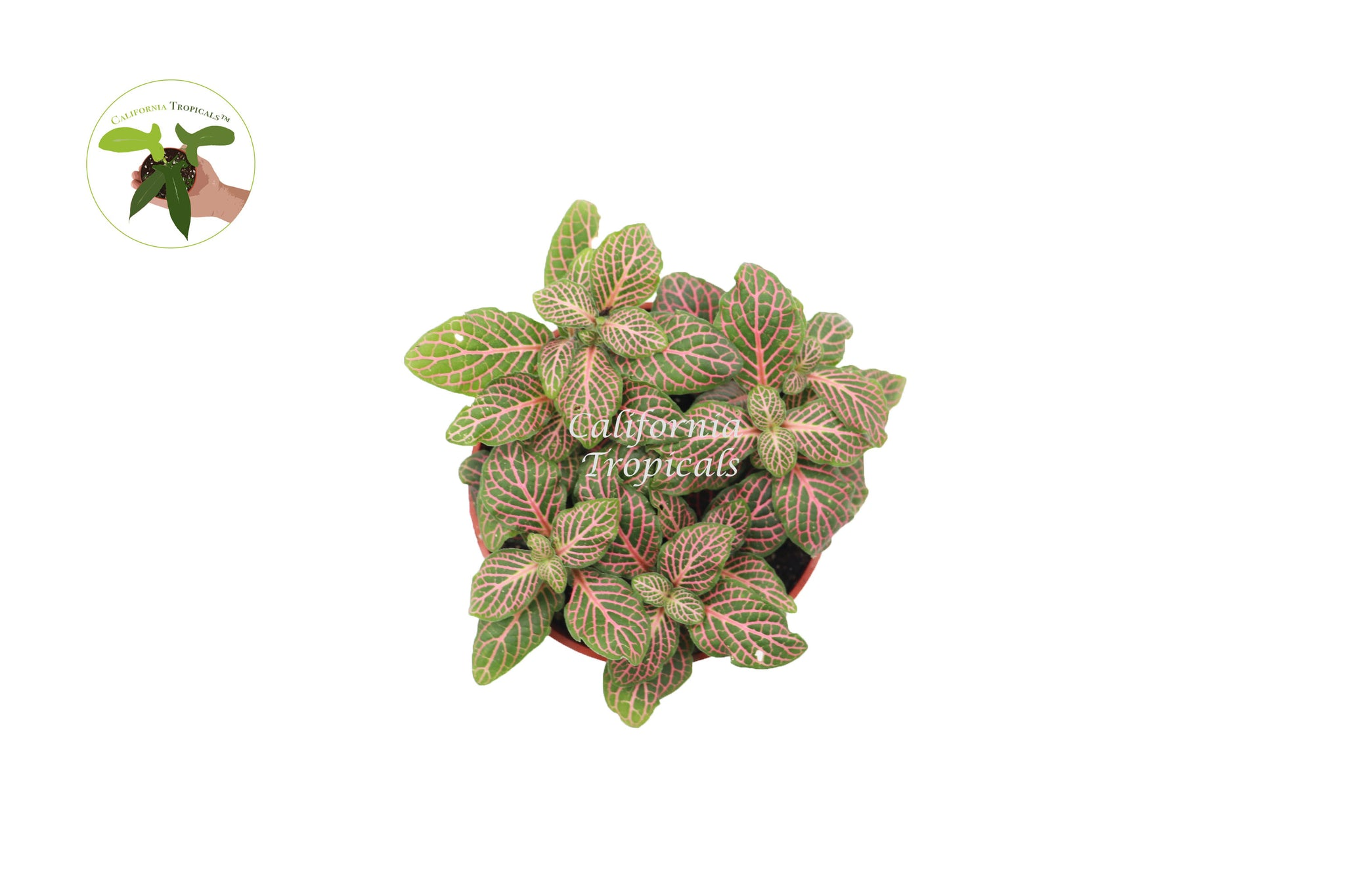 "Pink Fittonia - 4"" from California Tropicals"