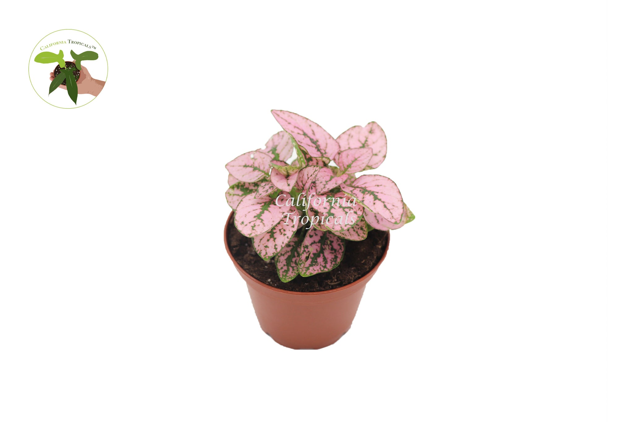 Pink Polka Dot Plant - 2'' from California Tropicals