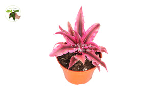 Pink Starlite - 4'' from California Tropicals
