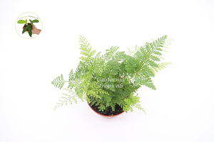 Rabbit's Foot Fern - 4'' from California Tropicals