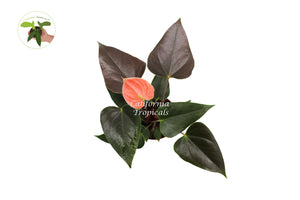 "Rainbow Anthurium  - 4"" from California Tropicals"