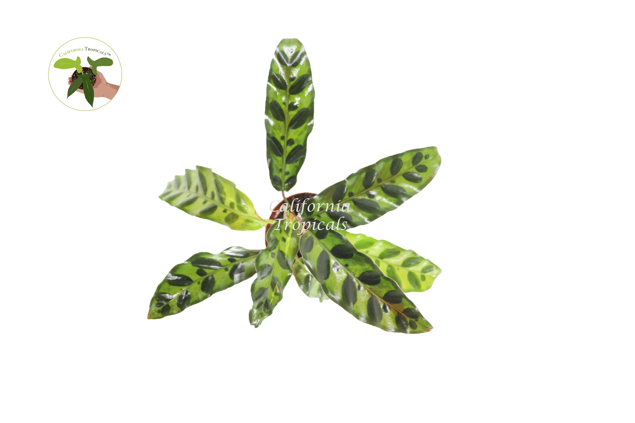Calathea Rattlesnake Lancifolia - 3'' from California Tropicals