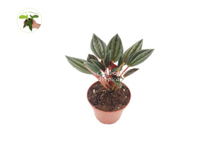 Peperomia Rosso - 2'' from California Tropicals
