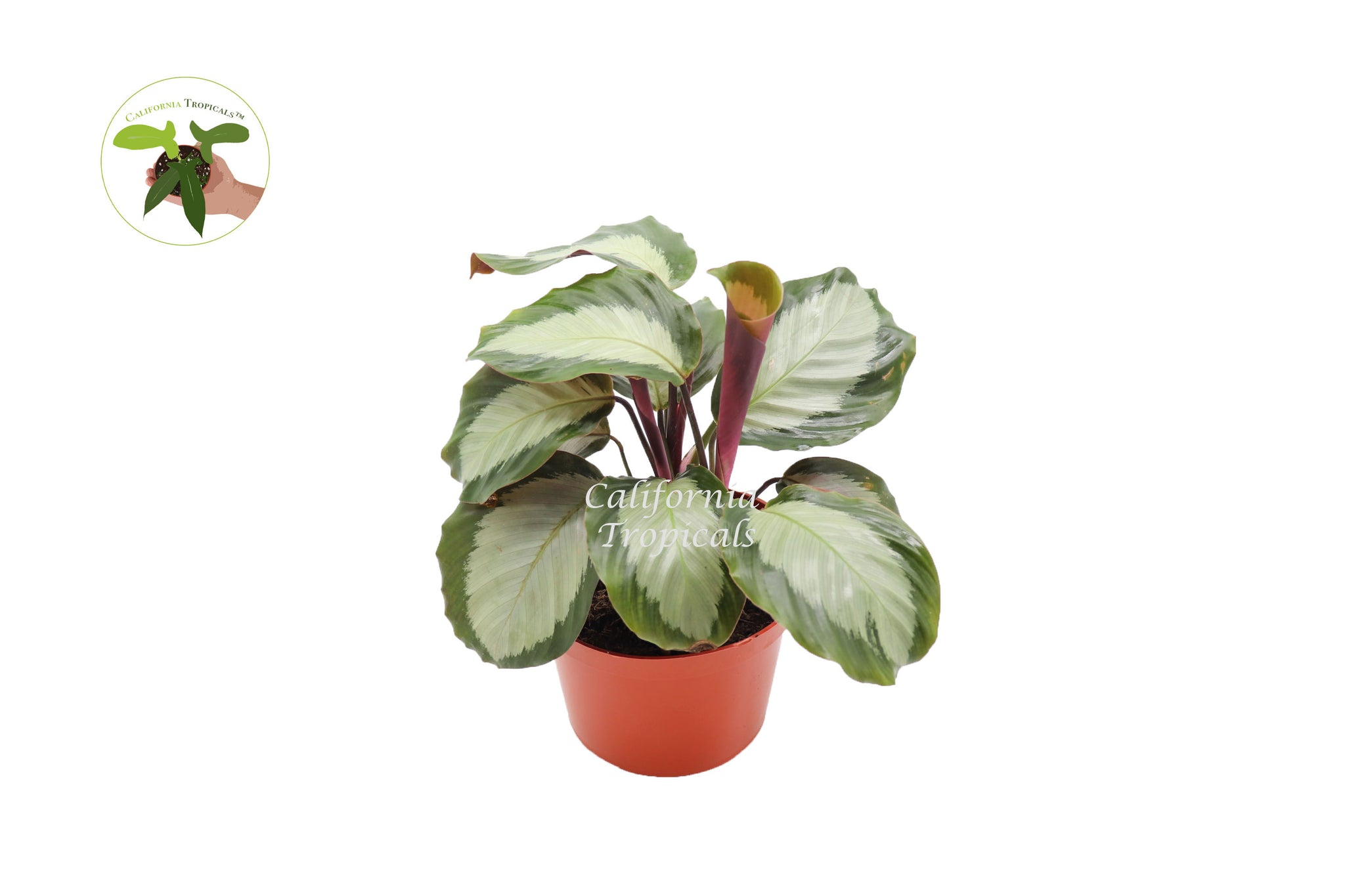"Calathea Royal - 6""  from  California Tropicals"