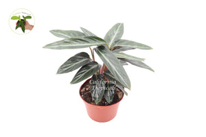 Calathea Sanguinea Prayer Plant - 6'' from California Tropicals