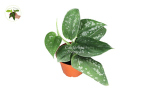 Satin Pothos - 2'' from California Tropicals