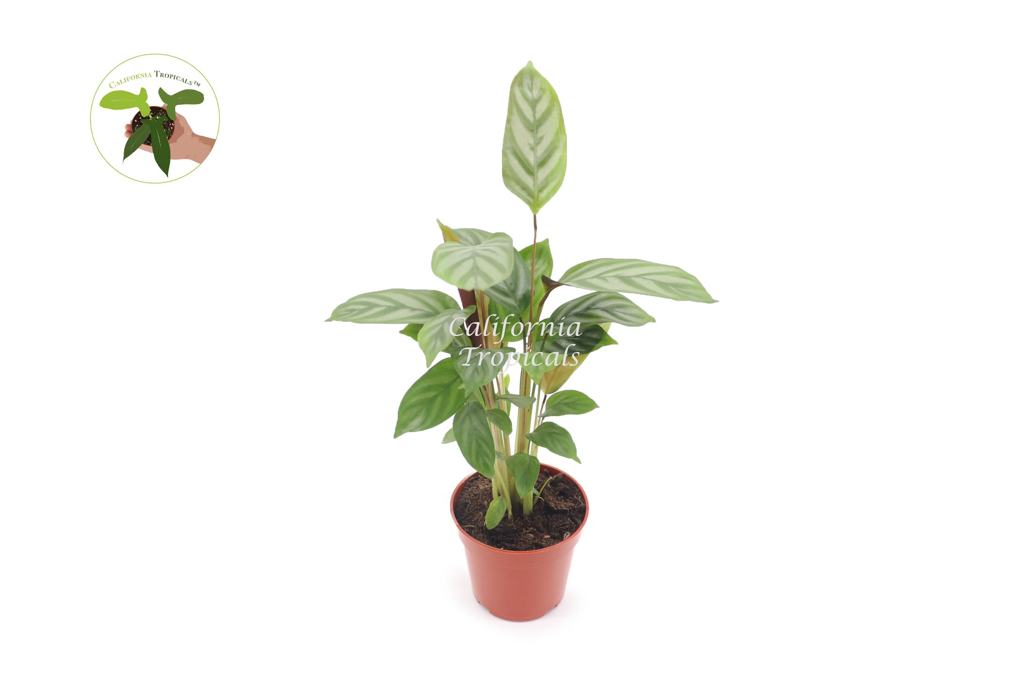 "Calathea Ctenanthe Setosa Exotica  - 4"" from California Tropicals"