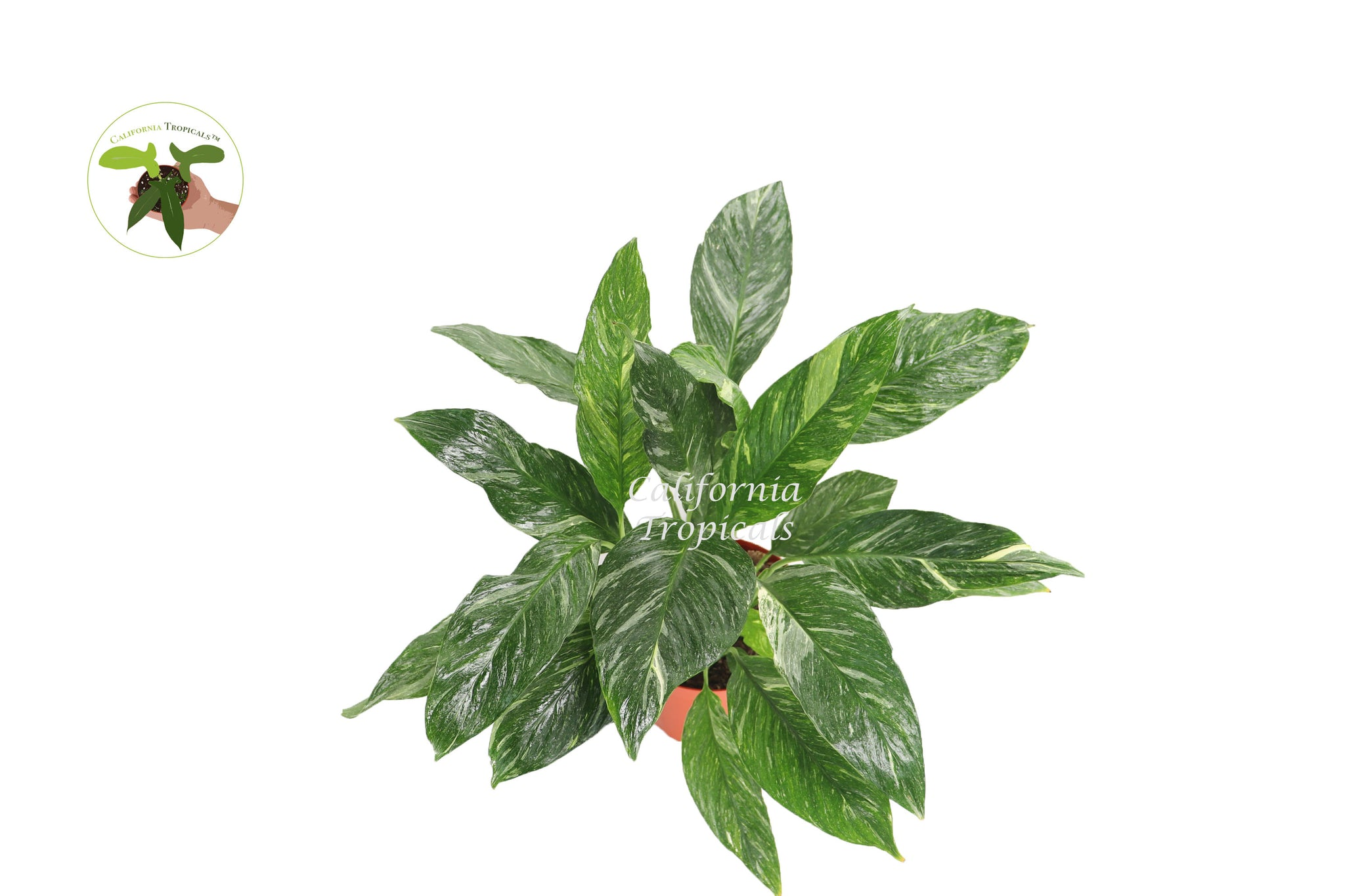 Spathyphyllium Domino - Variegated Peace Lily - 8'' from California Tropicals
