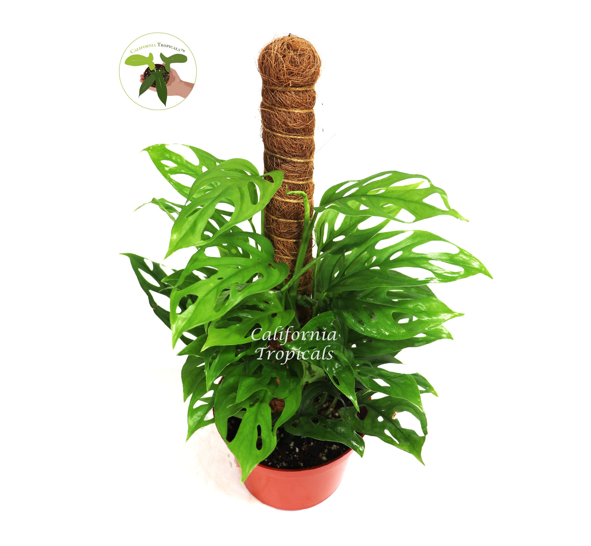 "Monstera Adansonii Swiss Cheese Plant Pole - 6"" from California Tropicals"