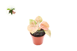 Strawberry Syngonium - 4'' from California Tropicals