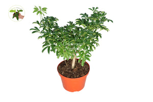 Schefflera arboricola Dwarf Umbrella Tree - 8'' from California Tropicals