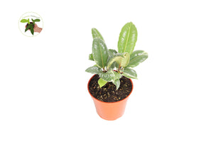 "Ficus Rubber Tree Decora Tineke Variegated 4"" from California Tropicals"