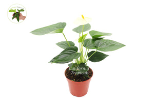 "Vanilla Anthurium  - 4"" from California Tropicals"