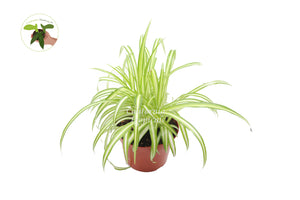 Variegated Spider Plant - 8'' from California Tropicals