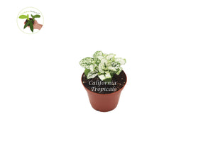 White Polka Dot Plant - 2'' from California Tropicals