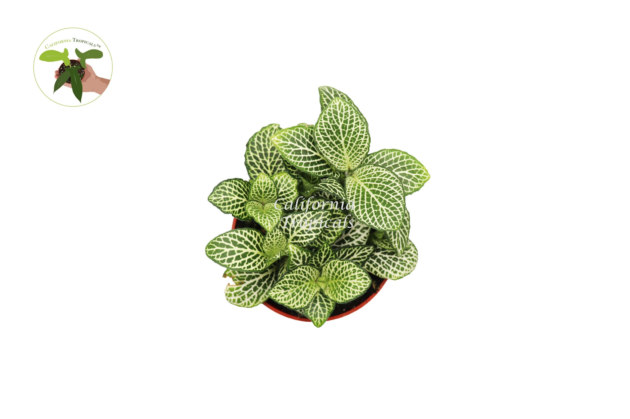 "White Nerve Fittonia - 4"" from California Tropicals"
