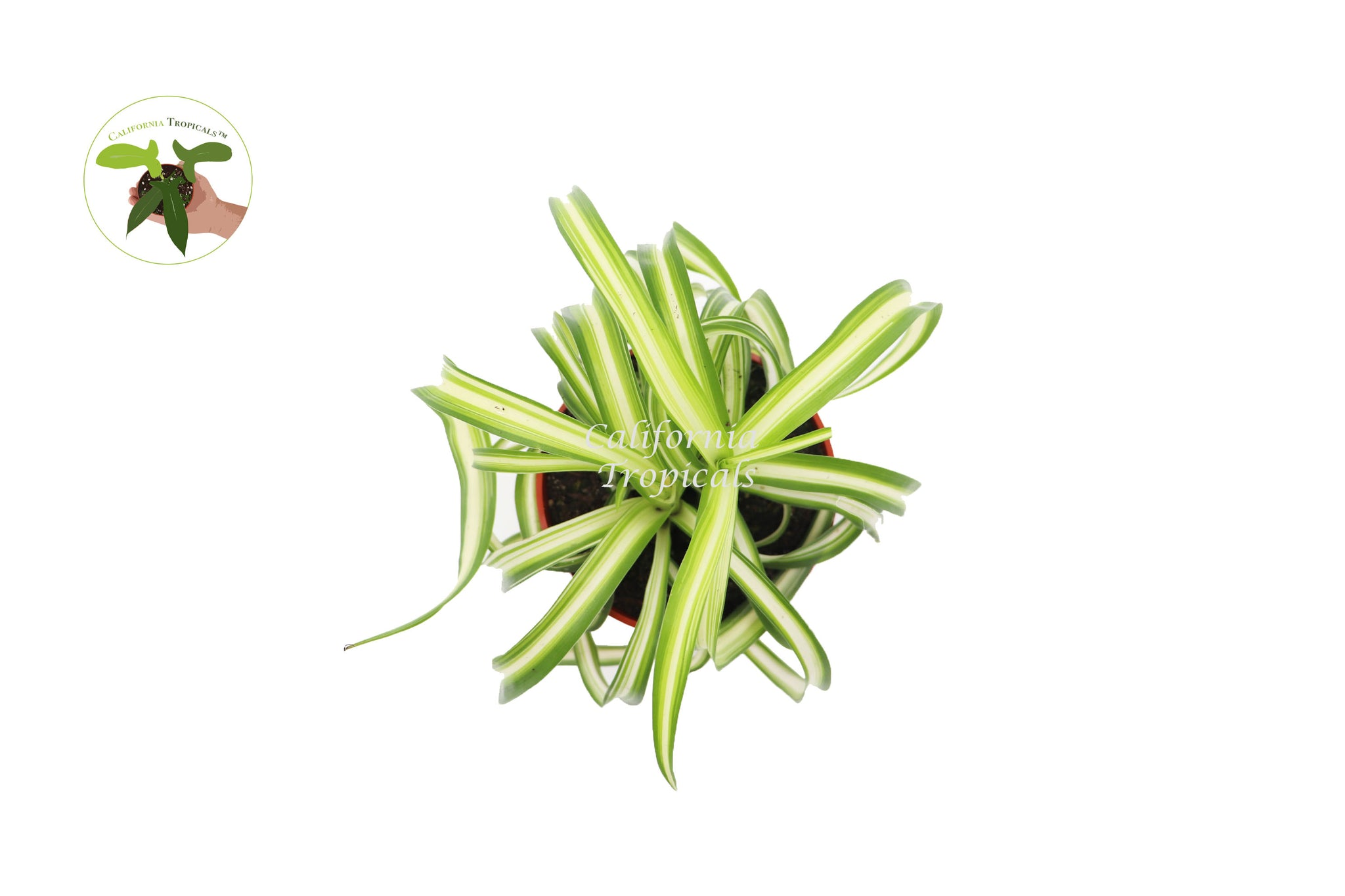 Bonnie Curly Spider Plant - 4'' from California Tropicals
