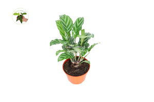 Calathea Freddy- 4'' from California Tropicals