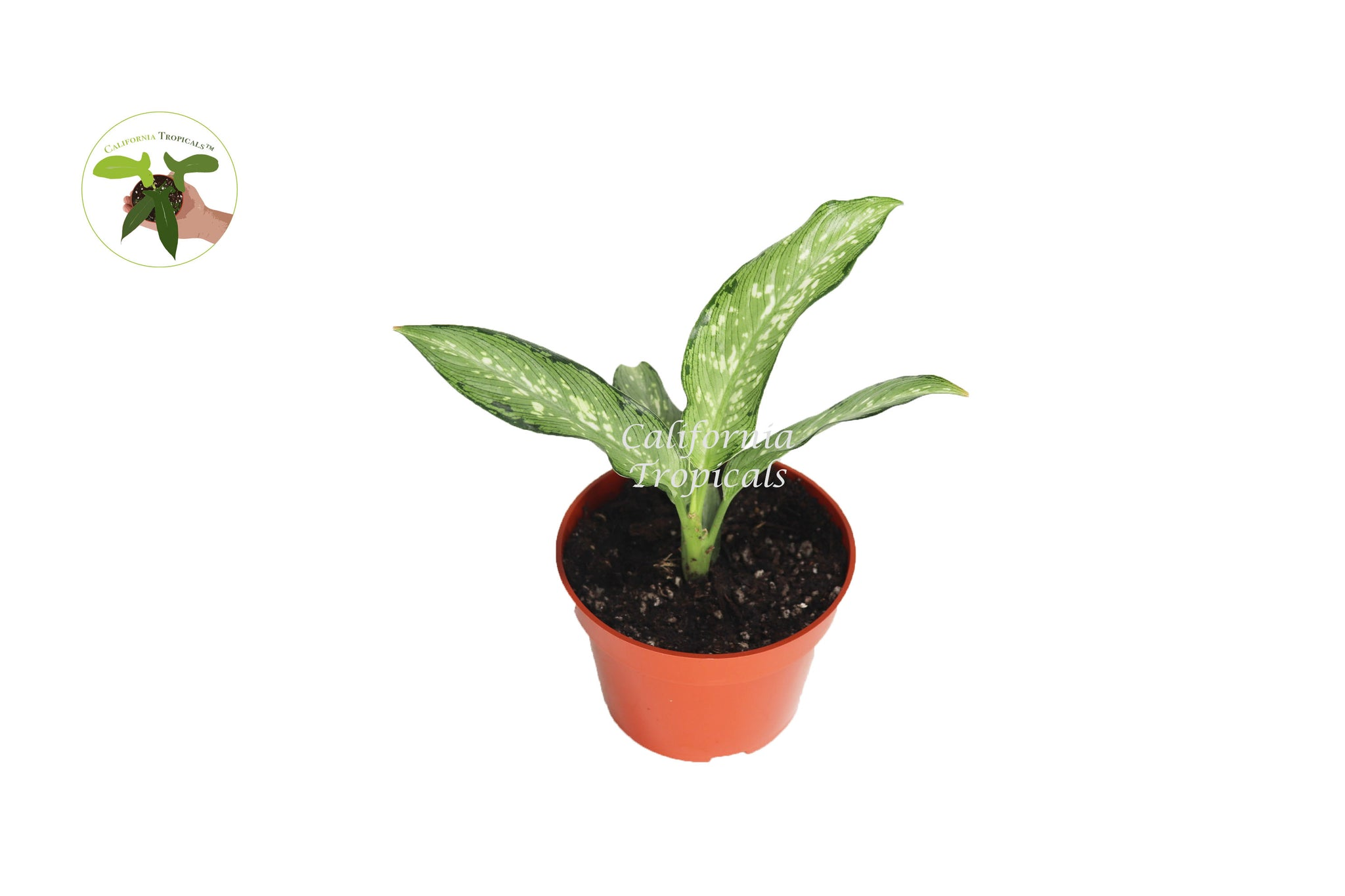 Dieffenbachia Memoria Corsii - 4'' from California Tropicals