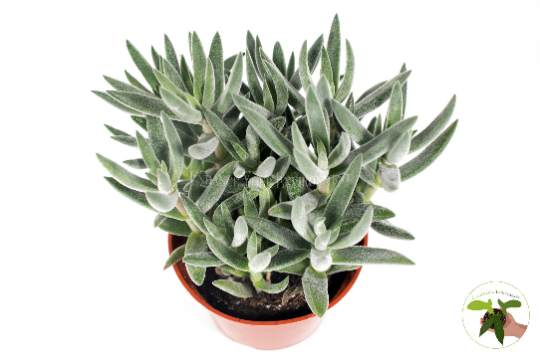 "Senecio Repens""Blue Chalk Sticks"" - 4'' from California Tropicals"