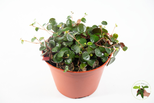 "Ruby Cascade Peperomia - 6"" from California Tropicals"