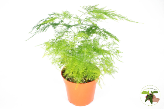 Plumosa Fern - 4'' from California Tropicals