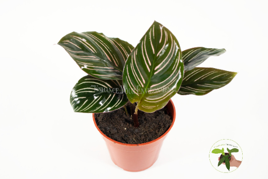 Pinstripe Calathea - 4'' from California Tropicals