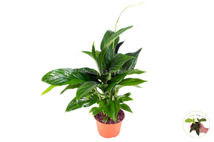Peace Lily Plant - 6'' California Tropicals…