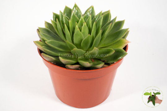 Molded Wax Agave - 4'' from California Tropicals