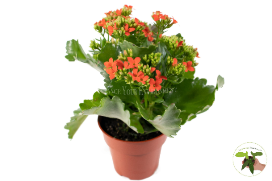 Orange Kalanchoe (Widow's Thrill) - 4'' from California Tropicals