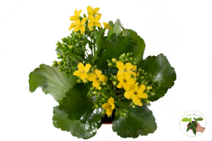 Yellow Kalanchoe (Widow's Thrill) - 4'' from California Tropicals…