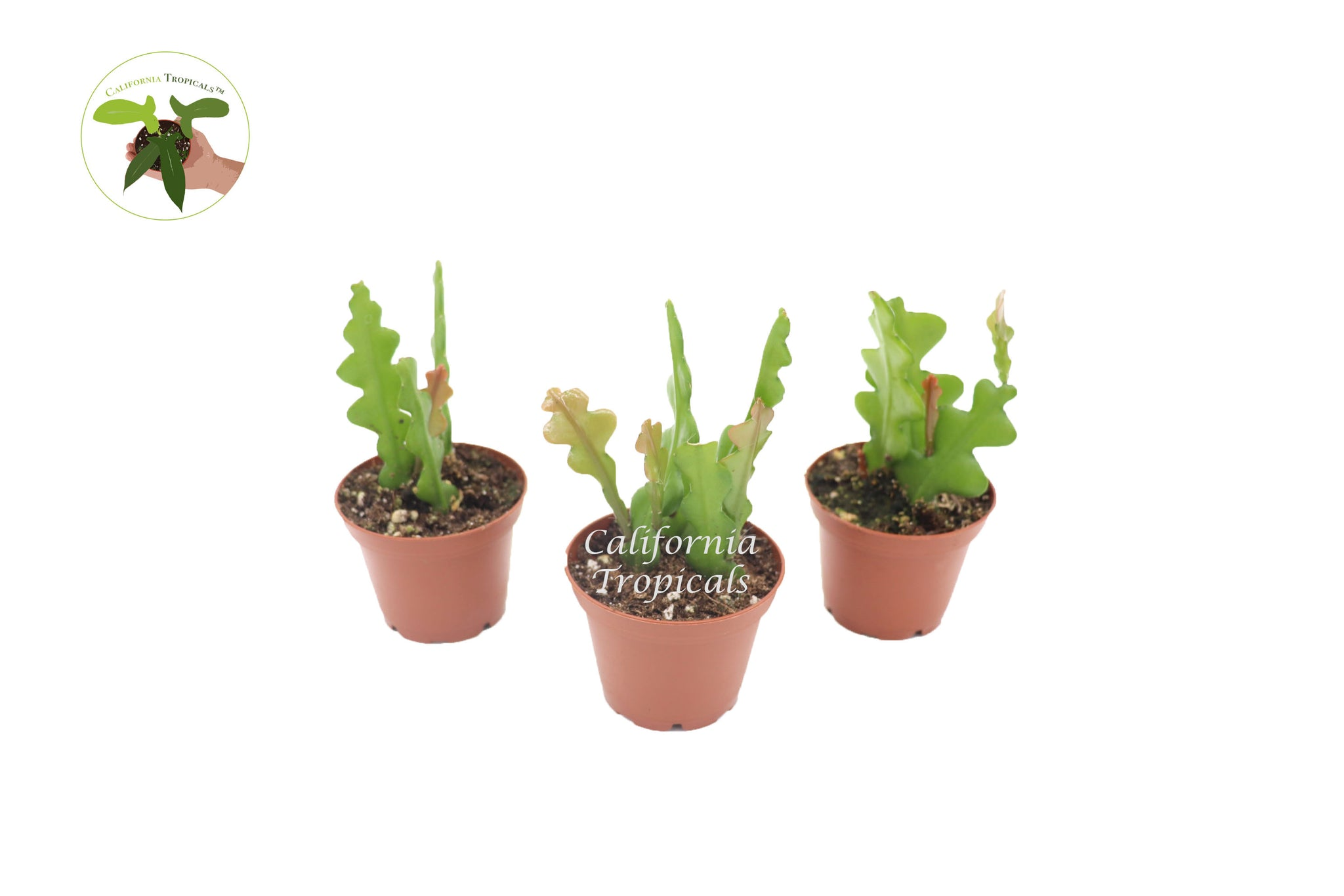 Fishbone Cactus (Three Plant Combo) - 2'' from California Tropicals