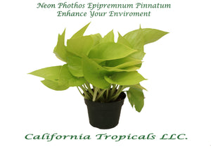 "Pothos Neon 4"" from California Tropicals"