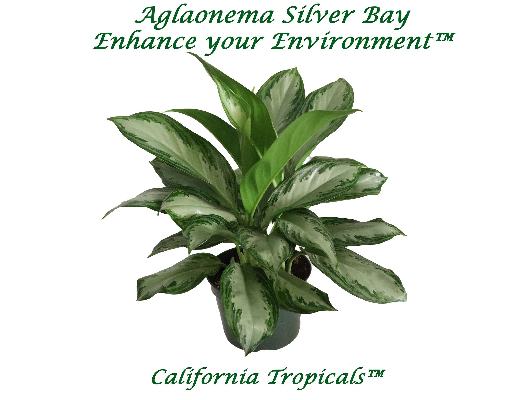 "Aglaonema Silver Bay - 6"" from California Tropicals"