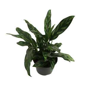 "Chinese Evergreen - 6"" from California Tropicals"
