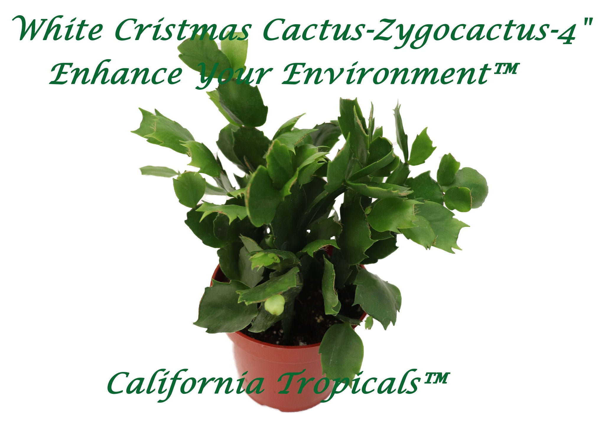 Christmas Cactus White - 4'' from California Tropicals