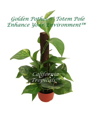 Golden Pothos on Moss Pole - 6'' from California Tropicals