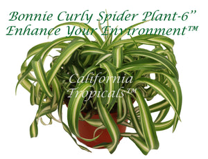 Bonnie Curly Spider Plant  -6''
