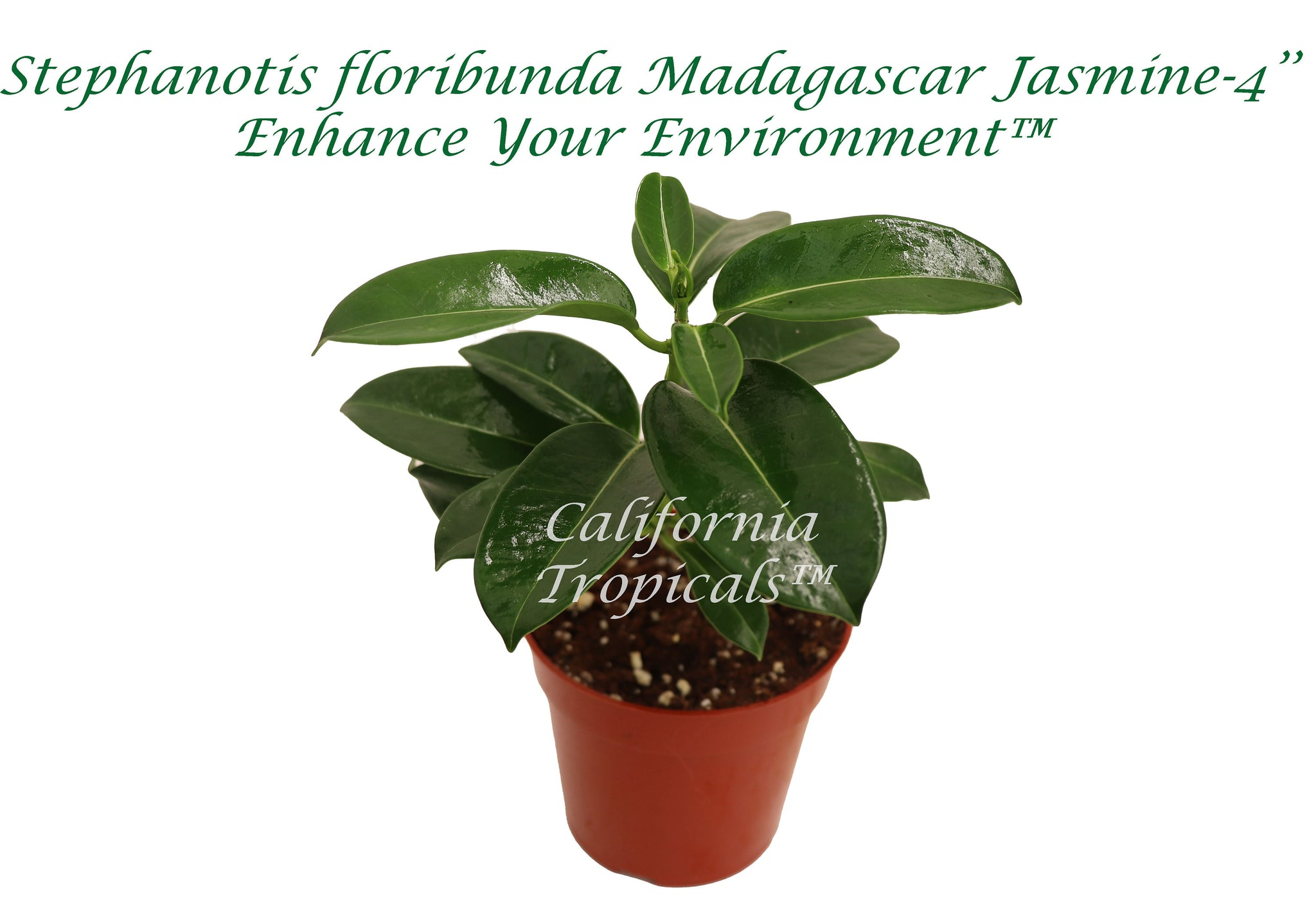Madagascar Jasmine - 4'' from California Tropicals