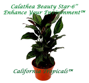 Calathea Beauty Star - 6'' from California Tropicals