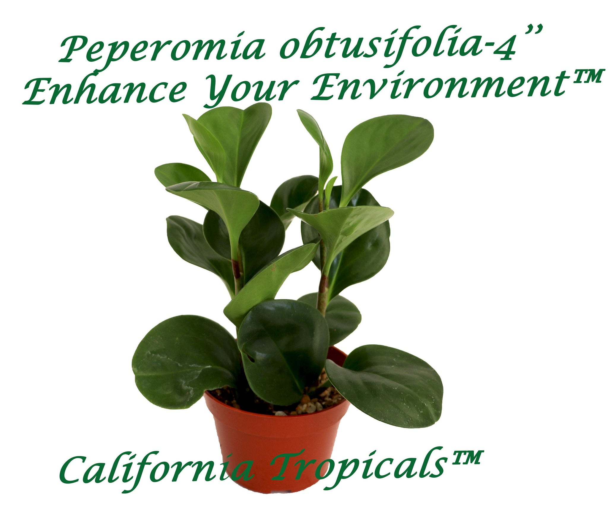 Peperomia Obtusifolia - 4'' from California Tropicals