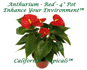 "Anthurium Red - 4"" Pot from California Tropicals"