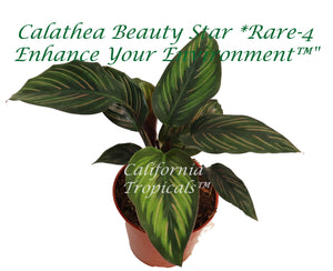 "Calathea Beauty Star - 4"" from California Tropicals"