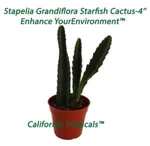 Stapelia Grandiflora Starfish Cactus - 4'' from California Tropicals
